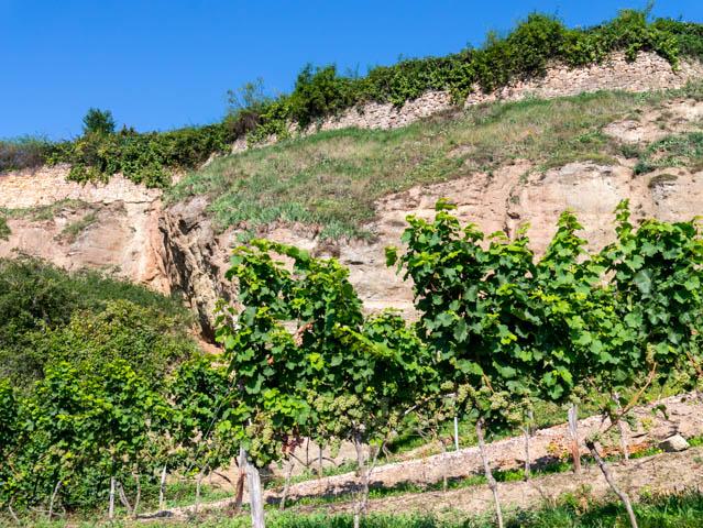Weinreben vor Hügel (1 von 1)