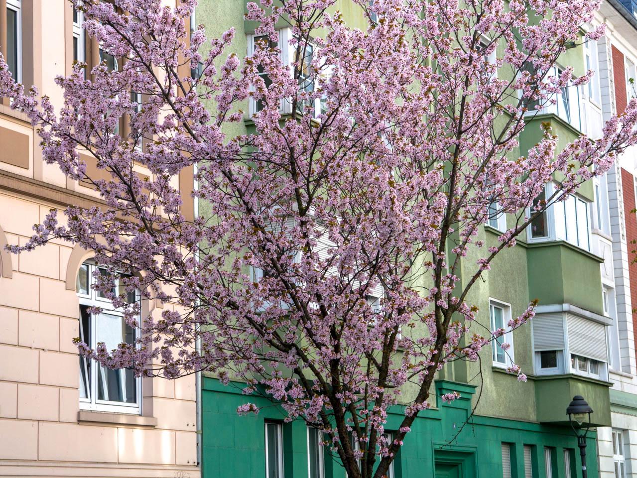 Kirschbaum (1 von 1)