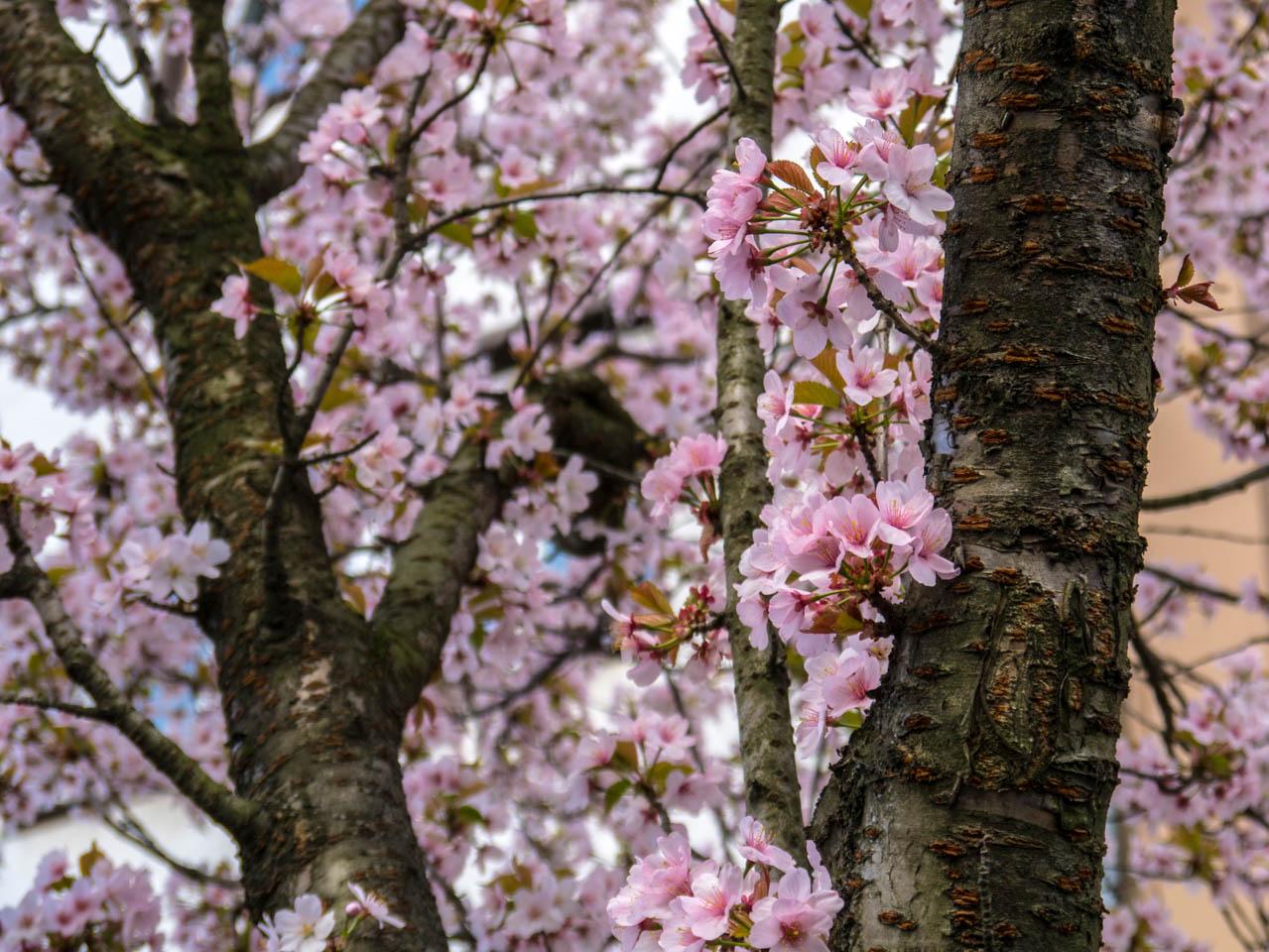 Kirschblüten (1 von 1)