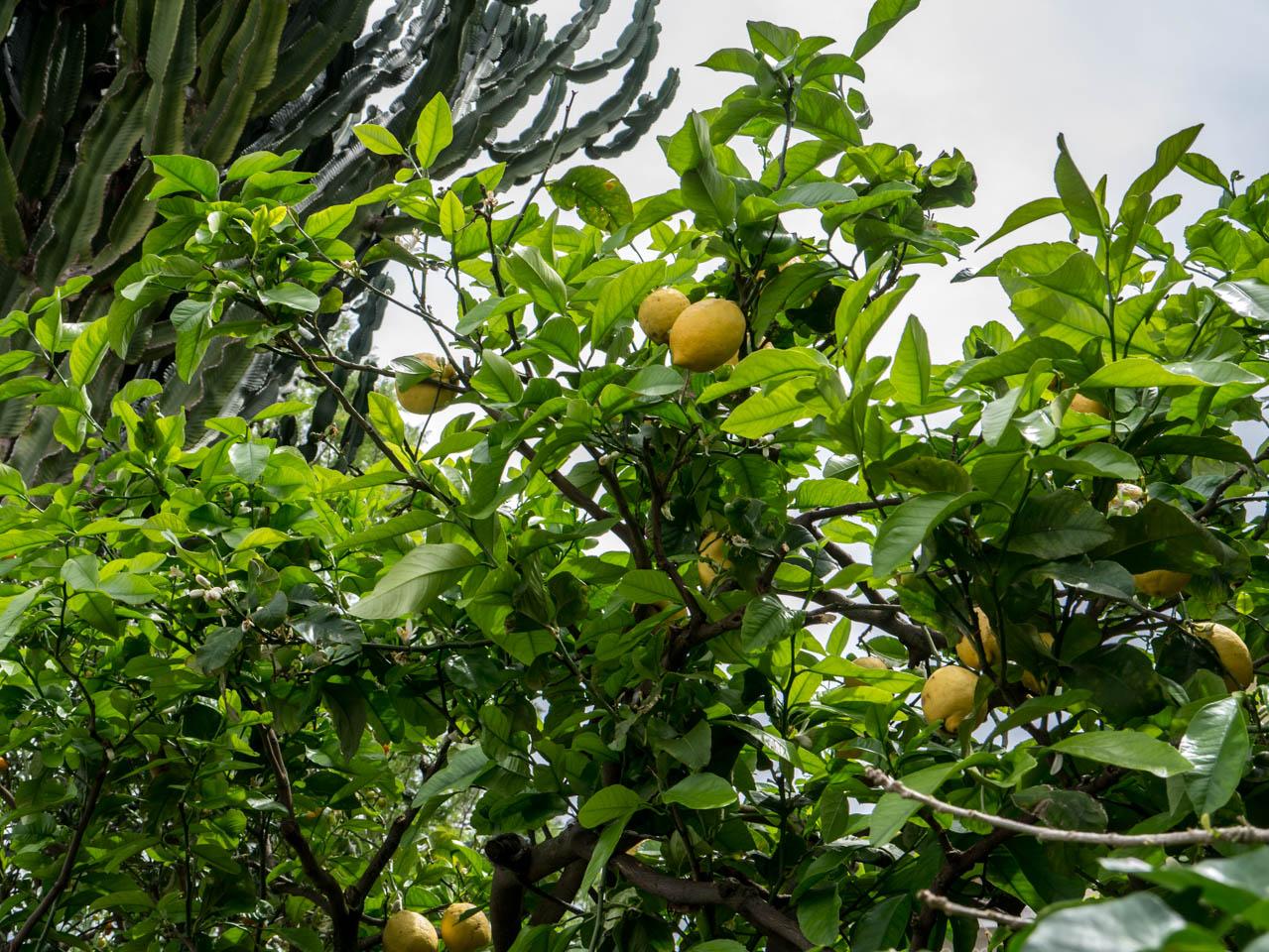 Zitronenbaum 2 (1 von 1)
