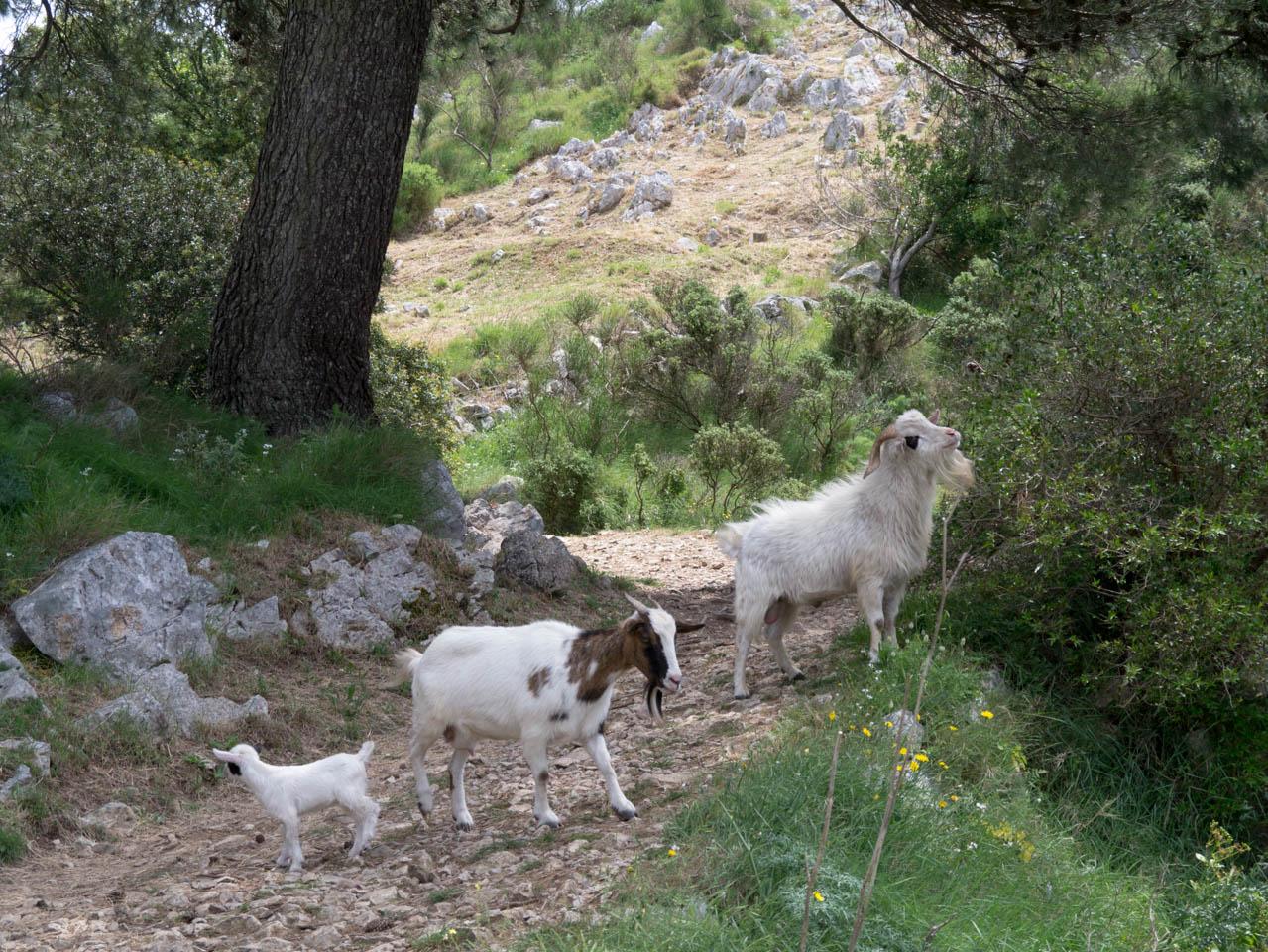 Ziegenfamilie (1 von 1)