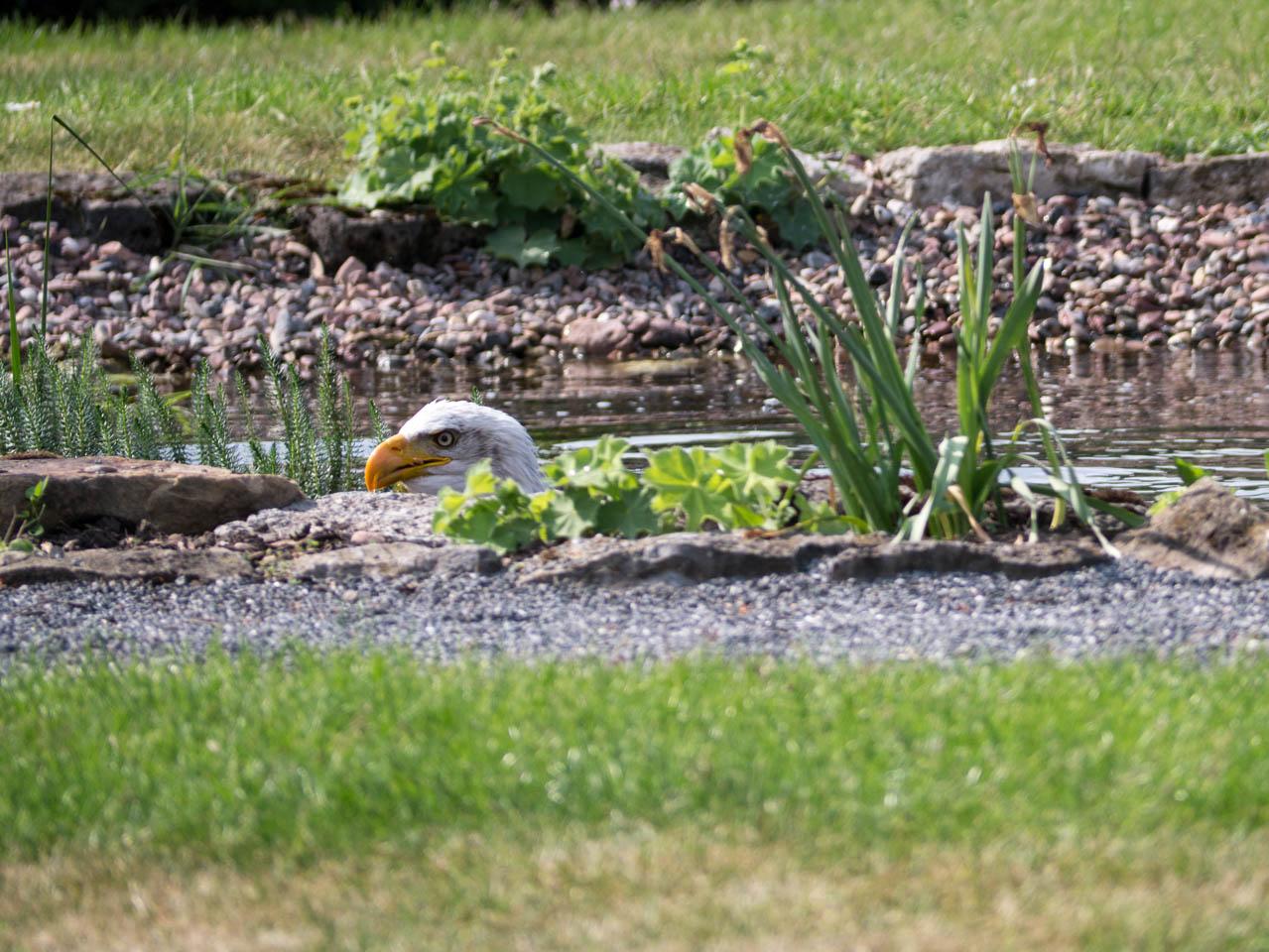 Adler oder Ente- (1 von 1)