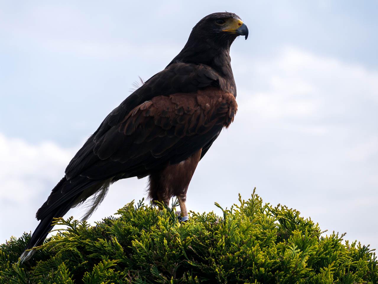 Der Falke hat alle im Blick (1 von 1)